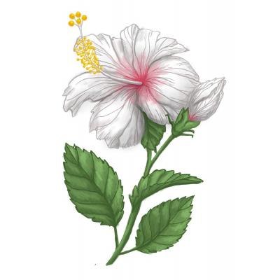 Ibišek bílý